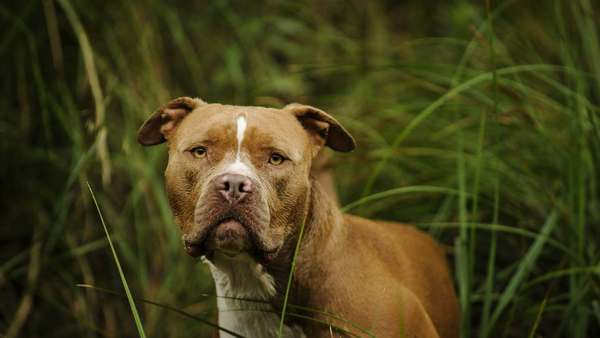 10 dog breeds most often blacklisted by home insurance carriers